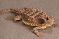Asio Horned Lizard Hand-Painted Figurines