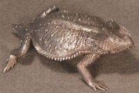 Bull Horned Lizard Pewter Figurines