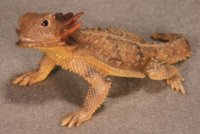 Regal Horned Lizard Hand-Painted Figurines