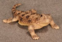 Pygmy Short Horned Lizard Hand-Painted Figurines