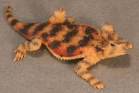 Desert Horned Lizard Hand-Painted Figurines